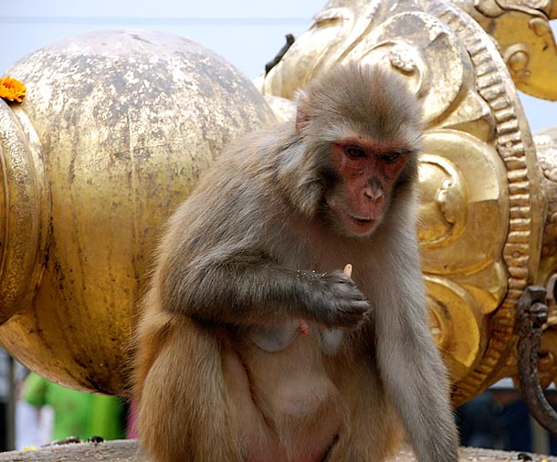 Holy Monkeys in the N-W of the Stupa